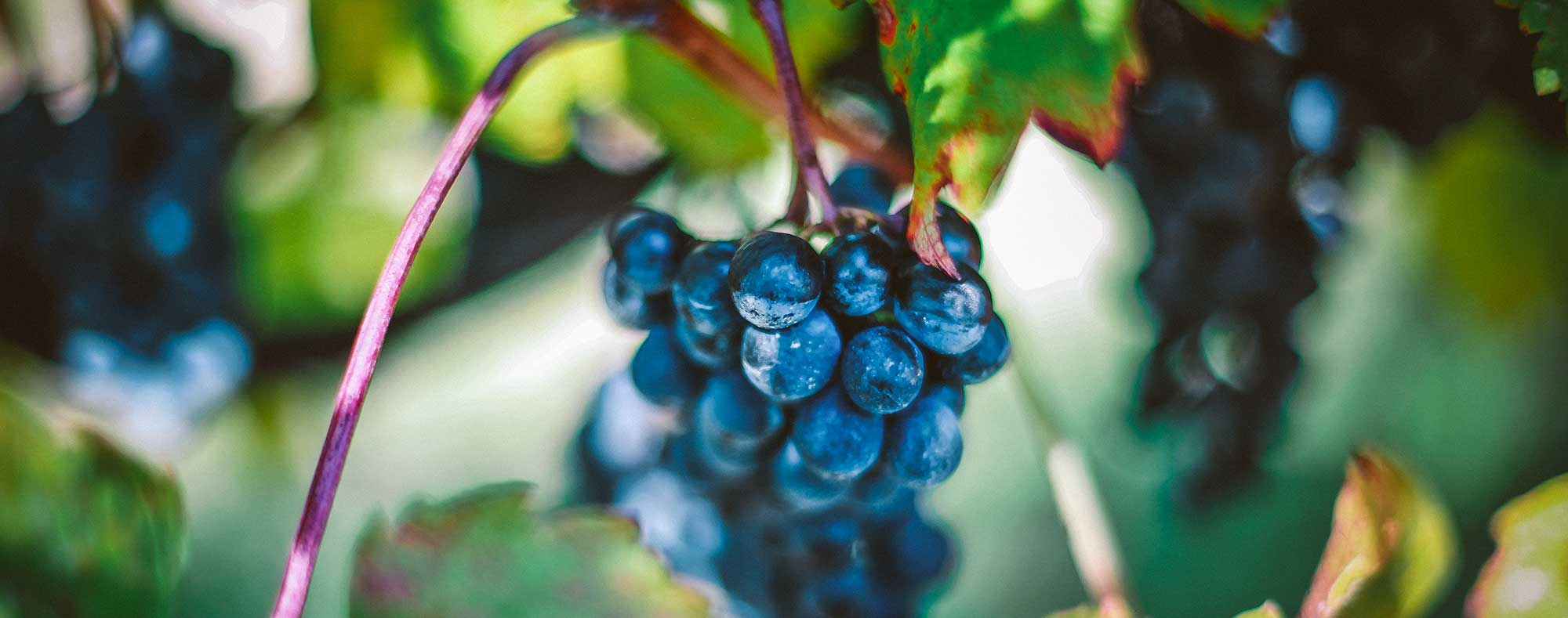 hidden-creek-dark-grapes